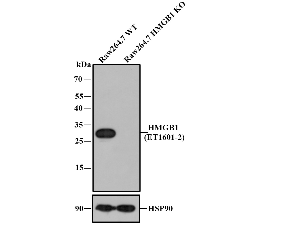Western blot analysis of HMGB1 on different lysates. Proteins were transferred to a PVDF membrane and blocked with 5% BSA in PBS for 1 hour at room temperature. The primary antibody (ET1601-2, 1/500) was used in 5% BSA at room temperature for 2 hours. Goat Anti-Rabbit IgG - HRP Secondary Antibody (HA1001) at 1:5,000 dilution was used for 1 hour at room temperature.<br /> Positive control: <br /> Lane 1: MCF-7 cell lysate<br /> Lane 2: PC-12 cell lysate<br /> Lane 3: F9 cell lysate