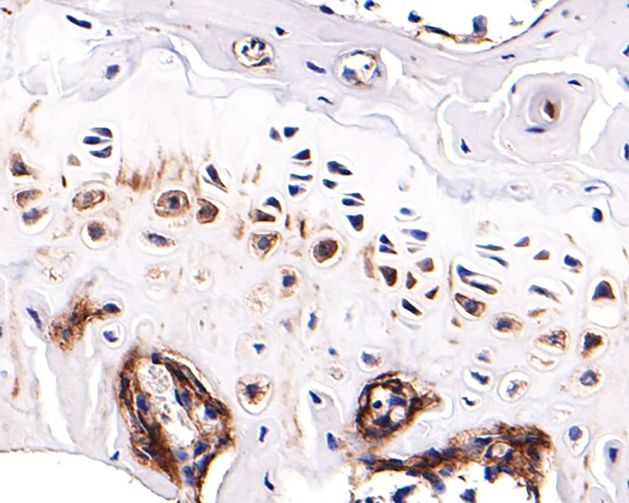 Immunohistochemical analysis of paraffin-embedded mouse small intestine tissue using anti-Alkaline Phosphatase antibody. The section was pre-treated using heat mediated antigen retrieval with Tris-EDTA buffer (pH 8.0-8.4) for 20 minutes.The tissues were blocked in 5% BSA for 30 minutes at room temperature, washed with ddH2O and PBS, and then probed with the primary antibody (ET1601-21, 1/50) for 30 minutes at room temperature. The detection was performed using an HRP conjugated compact polymer system. DAB was used as the chromogen. Tissues were counterstained with hematoxylin and mounted with DPX.