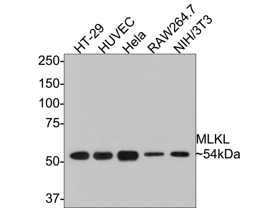 Western blot analysis of MLKL on different cell lysates using anti-MLKL antibody at 1/1,000 dilution.<br /> Positive control: <br /> Lane 1: HT29 <br /> Lane 2: HUVEC <br /> Lane 3: Hela