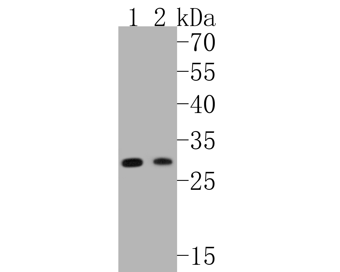 Western blot analysis of RPS3 on different lysates. Proteins were transferred to a PVDF membrane and blocked with 5% BSA in PBS for 1 hour at room temperature. The primary antibody (ET1601-27, 1/500) was used in 5% BSA at room temperature for 2 hours. Goat Anti-Rabbit IgG - HRP Secondary Antibody (HA1001) at 1:5,000 dilution was used for 1 hour at room temperature.<br /> Positive control: <br /> Lane 1: Jurkat cell lysate<br /> Lane 2: PC-12 cell lysate