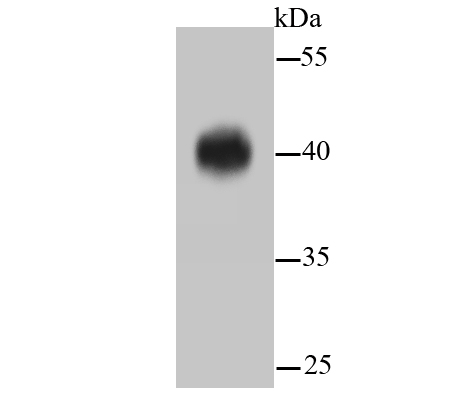Western blot analysis of ERK1/2 on hybrid fish (crucian-carp) brain tissue lysates. Proteins were transferred to a PVDF membrane and blocked with 5% BSA in PBS for 1 hour at room temperature. The primary antibody (ET1601-29, 1/500) was used in 5% BSA at room temperature for 2 hours. Goat Anti-Rabbit IgG - HRP Secondary Antibody (HA1001) at 1:5,000 dilution was used for 1 hour at room temperature.