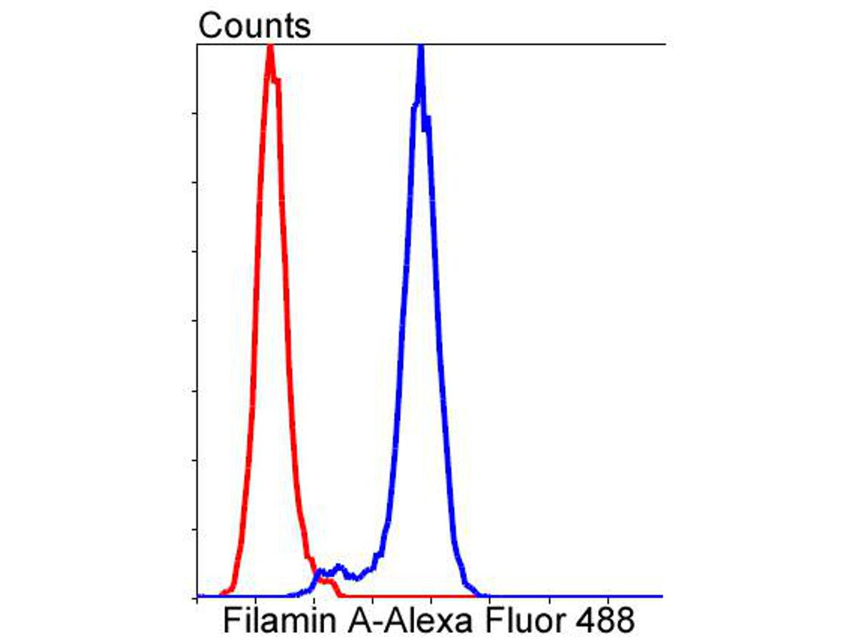 Flow cytometric analysis of Filamin A was done on Hela cells. The cells were fixed, permeabilized and stained with the primary antibody (ET1601-3, 1/50) (blue). After incubation of the primary antibody at room temperature for an hour, the cells were stained with a Alexa Fluor 488-conjugated Goat anti-Rabbit IgG Secondary antibody at 1/1000 dilution for 30 minutes.Unlabelled sample was used as a control (cells without incubation with primary antibody; red).