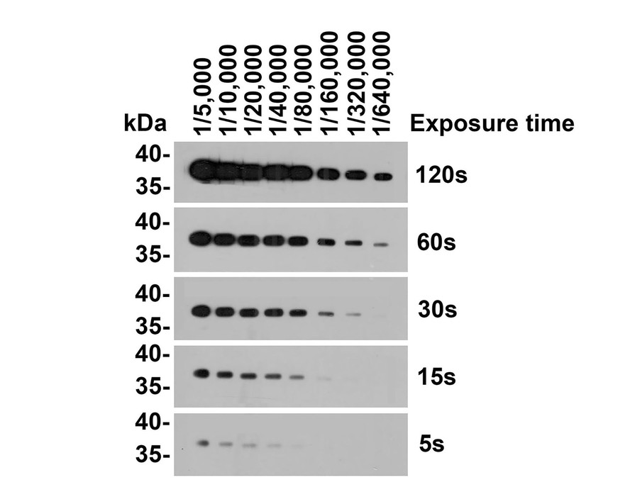 Western blot analysis of GAPDH on different lysates. Proteins were transferred to a PVDF membrane and blocked with 5% BSA in PBS for 1 hour at room temperature. The primary antibody (ET1601-4, 1/500) was used in 5% BSA at room temperature for 2 hours. Goat Anti-Rabbit IgG - HRP Secondary Antibody (HA1001) at 1:5,000 dilution was used for 1 hour at room temperature.<br />  Positive control: <br />  Lane 1: NCCIT cell lysate<br />  Lane 2: PC-12 cell lysate<br />  Lane 3: F9 cell lysate