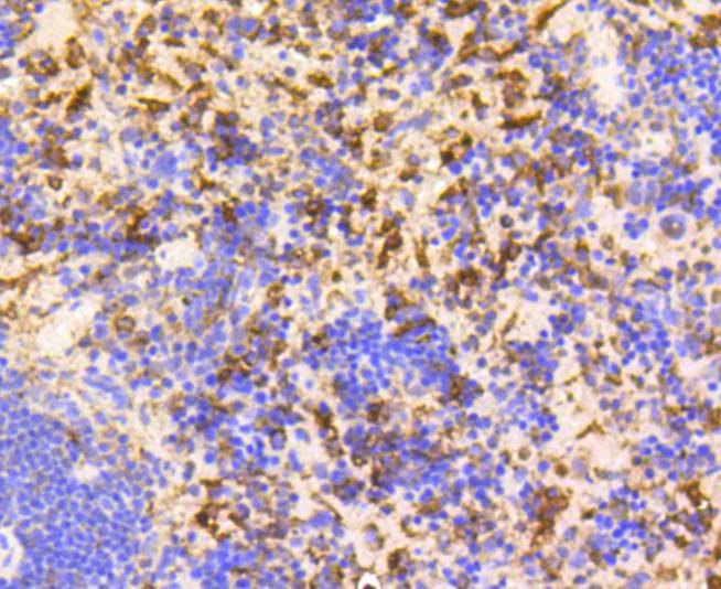 Flow cytometric analysis of GAPDH was done on HepG2 cells. The cells were fixed, permeabilized and stained with the primary antibody (ET1601-4, 1/50) (blue). After incubation of the primary antibody at room temperature for an hour, the cells were stained with a Alexa Fluor 488-conjugated Goat anti-Rabbit IgG Secondary antibody at 1/1000 dilution for 30 minutes.Unlabelled sample was used as a control (cells without incubation with primary antibody; red).