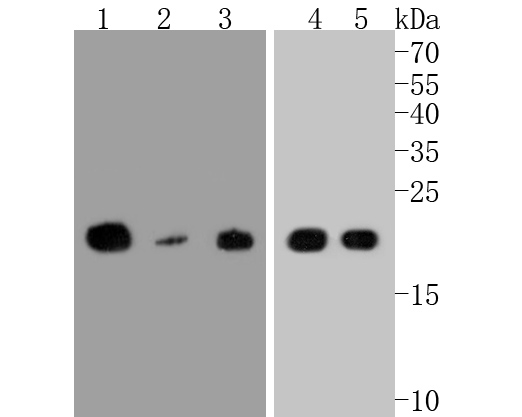 Western blot analysis of CD9 on different lysates. Proteins were transferred to a PVDF membrane and blocked with 5% BSA in PBS for 1 hour at room temperature. The primary antibody (ET1601-9, 1/500) was used in 5% BSA at room temperature for 2 hours. Goat Anti-Rabbit IgG - HRP Secondary Antibody (HA1001) at 1:5,000 dilution was used for 1 hour at room temperature.<br /> Positive control: <br /> Lane 1: mouse heart tissue lysate<br /> Lane 2: Jurkat cell lysate<br /> Lane 3: human lung carcinoma tissue lysate<br /> Lane 4: human lung tissue lysate<br /> Lane 5: MCF-7 cell lysate