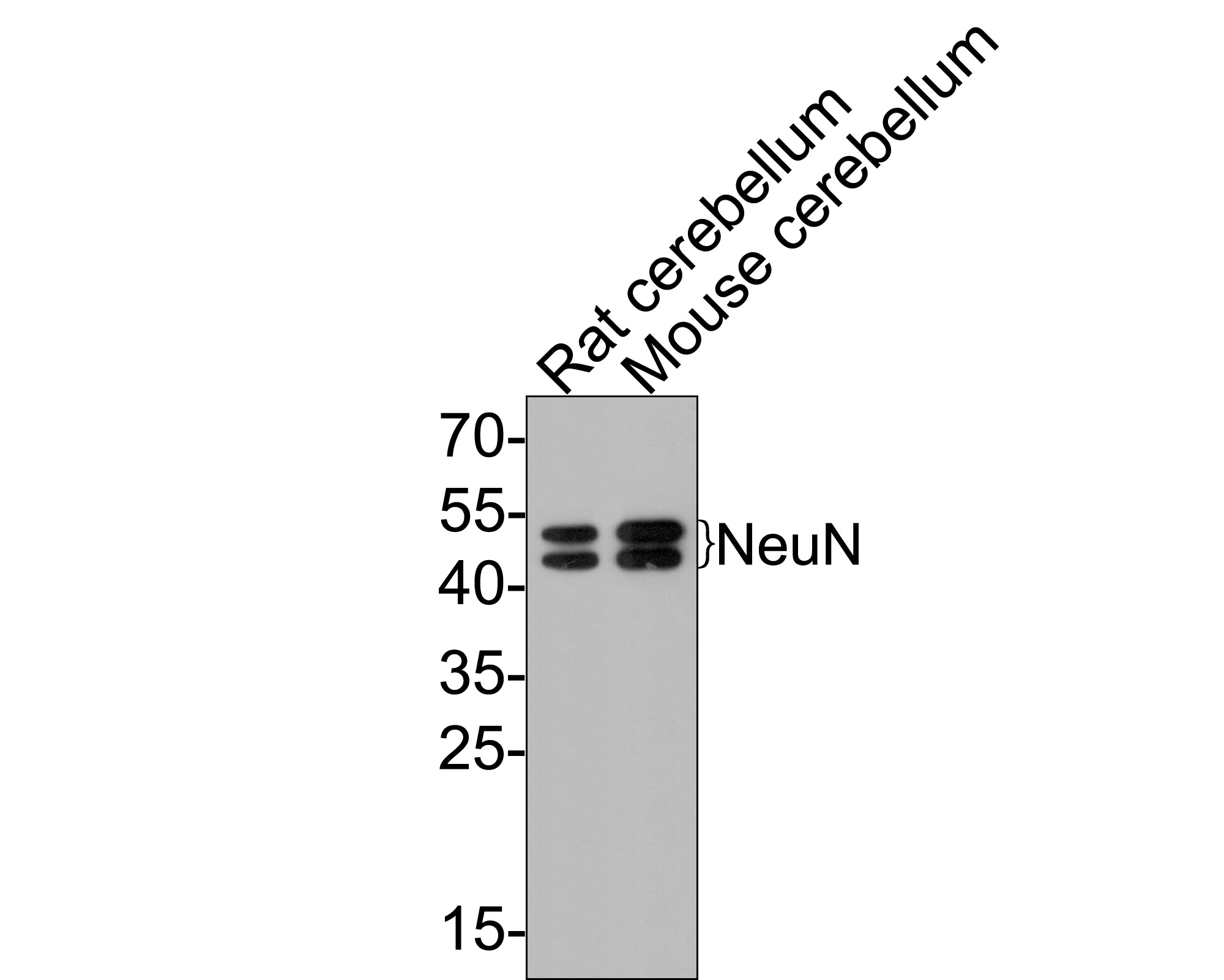 Flow cytometric analysis of NeuN was done on SH-SY5Y cells. The cells were fixed, permeabilized and stained with the primary antibody (ET1602-12, 1/50) (blue). After incubation of the primary antibody at room temperature for an hour, the cells were stained with a Alexa Fluor 488-conjugated Goat anti-Rabbit IgG Secondary antibody at 1/1000 dilution for 30 minutes.Unlabelled sample was used as a control (cells without incubation with primary antibody; red).