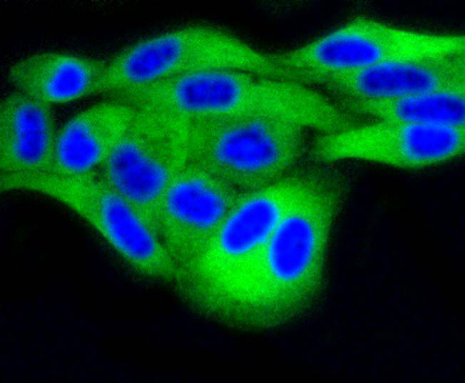 ICC staining of DUSP6 in Hela cells (green). Formalin fixed cells were permeabilized with 0.1% Triton X-100 in TBS for 10 minutes at room temperature and blocked with 1% Blocker BSA for 15 minutes at room temperature. Cells were probed with the primary antibody (ET1602-18, 1/50) for 1 hour at room temperature, washed with PBS. Alexa Fluor®488 Goat anti-Rabbit IgG was used as the secondary antibody at 1/1,000 dilution. The nuclear counter stain is DAPI (blue).