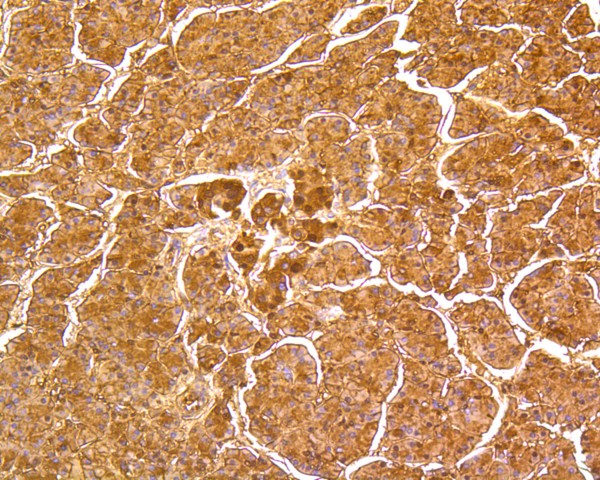 Immunohistochemical analysis of paraffin-embedded human pancreas tissue using anti-DUSP6 antibody. The section was pre-treated using heat mediated antigen retrieval with Tris-EDTA buffer (pH 8.0-8.4) for 20 minutes.The tissues were blocked in 5% BSA for 30 minutes at room temperature, washed with ddH2O and PBS, and then probed with the primary antibody (ET1602-18, 1/50) for 30 minutes at room temperature. The detection was performed using an HRP conjugated compact polymer system. DAB was used as the chromogen. Tissues were counterstained with hematoxylin and mounted with DPX.