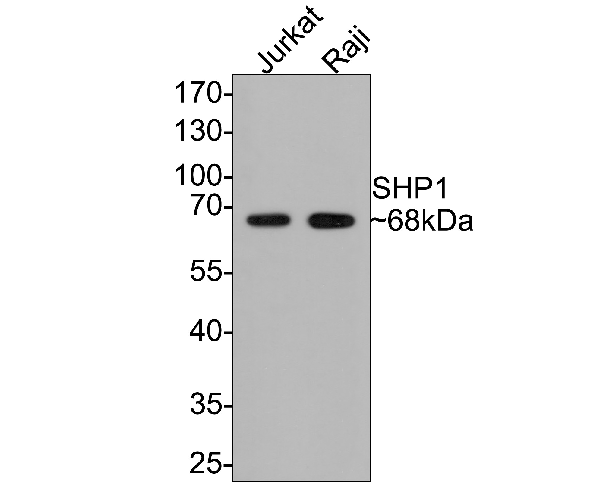 Western blot analysis of SHP1 on different lysates. Proteins were transferred to a PVDF membrane and blocked with 5% BSA in PBS for 1 hour at room temperature. The primary antibody (ET1602-19, 1/500) was used in 5% BSA at room temperature for 2 hours. Goat Anti-Rabbit IgG - HRP Secondary Antibody (HA1001) at 1:5,000 dilution was used for 1 hour at room temperature.<br />  Positive control: <br />  Lane 1: Raji cell lysate<br />  Lane 2: Jurkat cell lysate