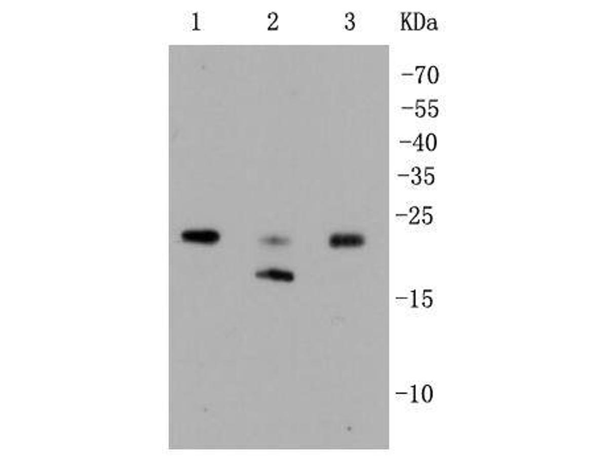 Western blot analysis of Rho A+B+C on different lysates using anti-Rho A+B+C antibody at 1/1,000 dilution.<br /> Positive control: <br />  Lane 1: HepG2 <br />  Lane 2: Hela <br />  Lane 3: Jurkat