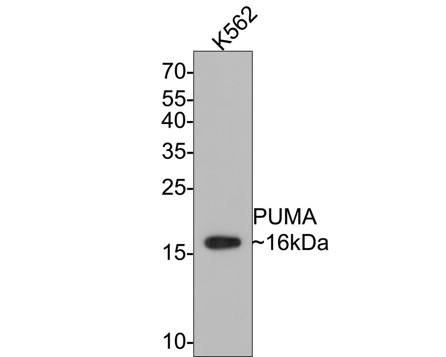 Western blot analysis of PUMA on different lysates. Proteins were transferred to a PVDF membrane and blocked with 5% BSA in PBS for 1 hour at room temperature. The primary antibody (ET1602-24, 1/500) was used in 5% BSA at room temperature for 2 hours. Goat Anti-Rabbit IgG - HRP Secondary Antibody (HA1001) at 1:5,000 dilution was used for 1 hour at room temperature.<br /> Positive control: <br /> Lane 1: Hela cell lysate<br /> Lane 2: K562 cell lysate