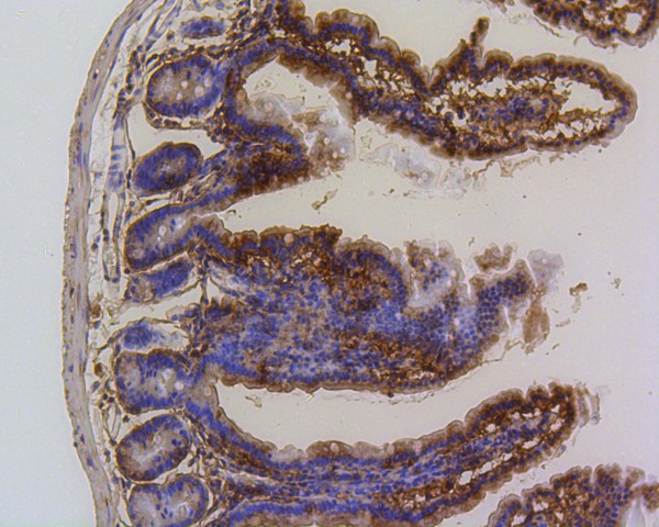 Immunohistochemical analysis of paraffin-embedded mouse small intestine tissue using anti-PUMA antibody. The section was pre-treated using heat mediated antigen retrieval with Tris-EDTA buffer (pH 8.0-8.4) for 20 minutes.The tissues were blocked in 5% BSA for 30 minutes at room temperature, washed with ddH2O and PBS, and then probed with the primary antibody (ET1602-24, 1/200) for 30 minutes at room temperature. The detection was performed using an HRP conjugated compact polymer system. DAB was used as the chromogen. Tissues were counterstained with hematoxylin and mounted with DPX.