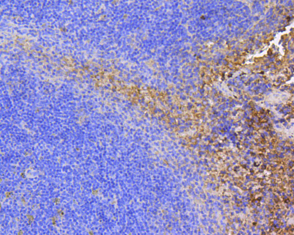 Immunohistochemical analysis of paraffin-embedded mouse spleen tissue using anti-FAK antibody. The section was pre-treated using heat mediated antigen retrieval with Tris-EDTA buffer (pH 8.0-8.4) for 20 minutes.The tissues were blocked in 5% BSA for 30 minutes at room temperature, washed with ddH2O and PBS, and then probed with the primary antibody (ET1602-25, 1/50) for 30 minutes at room temperature. The detection was performed using an HRP conjugated compact polymer system. DAB was used as the chromogen. Tissues were counterstained with hematoxylin and mounted with DPX.