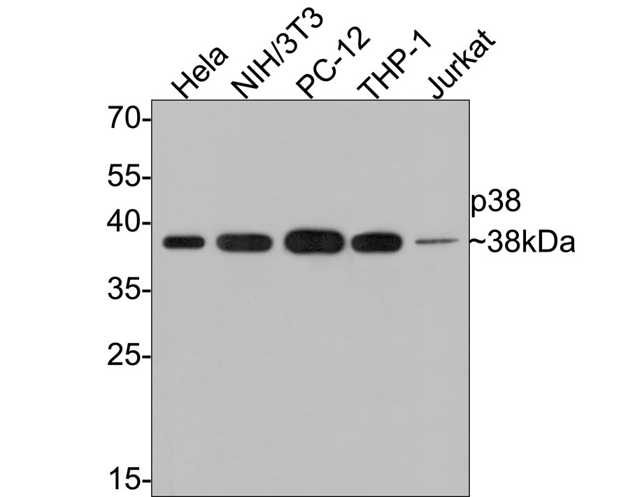 Western blot analysis of p38 on different lysates. Proteins were transferred to a PVDF membrane and blocked with 5% BSA in PBS for 1 hour at room temperature. The primary antibody (ET1602-26, 1/500) was used in 5% BSA at room temperature for 2 hours. Goat Anti-Rabbit IgG - HRP Secondary Antibody (HA1001) at 1:5,000 dilution was used for 1 hour at room temperature.<br />  Positive control: <br />  Lane 1: Hela cell lysate<br />  Lane 2: NIH/3T3 cell lysate<br />  Lane 3: PC-12 cell lysate<br />  Lane 4: Jurkat cell lysate