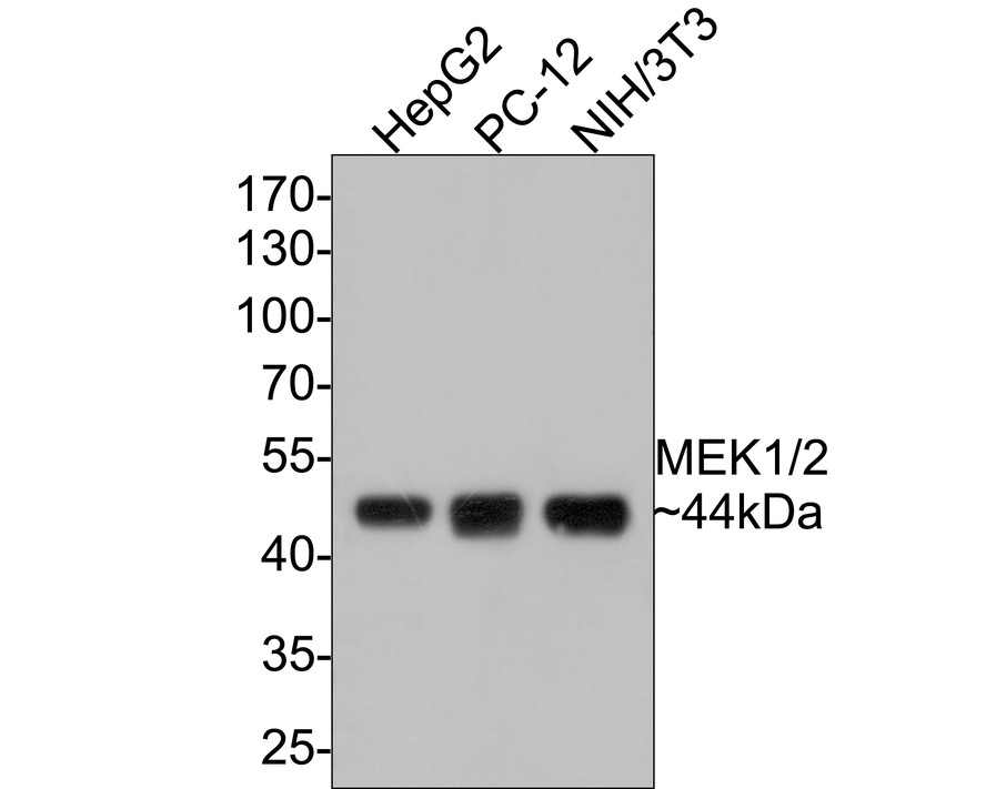 Western blot analysis of MEK1/2 on different lysates. Proteins were transferred to a PVDF membrane and blocked with 5% BSA in PBS for 1 hour at room temperature. The primary antibody (ET1602-3, 1/500) was used in 5% BSA at room temperature for 2 hours. Goat Anti-Rabbit IgG - HRP Secondary Antibody (HA1001) at 1:5,000 dilution was used for 1 hour at room temperature.<br /> Positive control: <br /> Lane 1: HepG2 cell lysate<br /> Lane 2: PC-12 cell lysate<br /> Lane 3: NIH/3T3 cell lysate