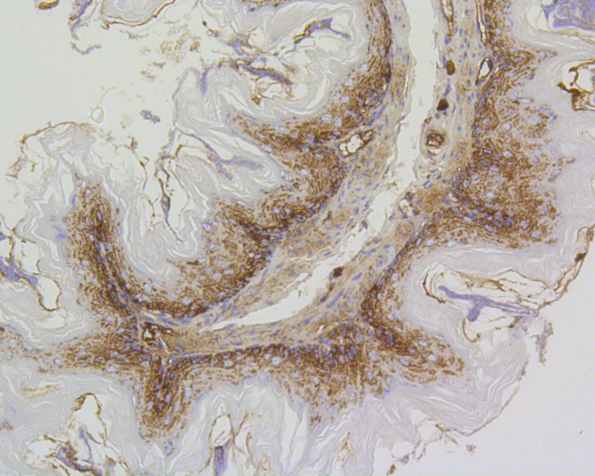 Immunohistochemical analysis of paraffin-embedded mouse stomach tissue using anti-Prohibitin antibody. The section was pre-treated using heat mediated antigen retrieval with Tris-EDTA buffer (pH 8.0-8.4) for 20 minutes.The tissues were blocked in 5% BSA for 30 minutes at room temperature, washed with ddH2O and PBS, and then probed with the primary antibody (ET1602-31, 1/200) for 30 minutes at room temperature. The detection was performed using an HRP conjugated compact polymer system. DAB was used as the chromogen. Tissues were counterstained with hematoxylin and mounted with DPX.