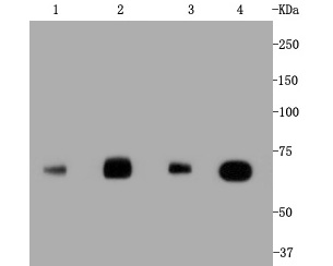 Western blot analysis of Hsc70 on different lysates. Proteins were transferred to a PVDF membrane and blocked with 5% BSA in PBS for 1 hour at room temperature. The primary antibody (ET1602-33, 1/500) was used in 5% BSA at room temperature for 2 hours. Goat Anti-Rabbit IgG - HRP Secondary Antibody (HA1001) at 1:5,000 dilution was used for 1 hour at room temperature.<br />  Positive control: <br />  Lane 1: HepG2 cell lysate<br />  Lane 2: Hela cell lysate<br />  Lane 1: NIH/3T3 cell lysate<br />  Lane 2: PC-12 cell lysate