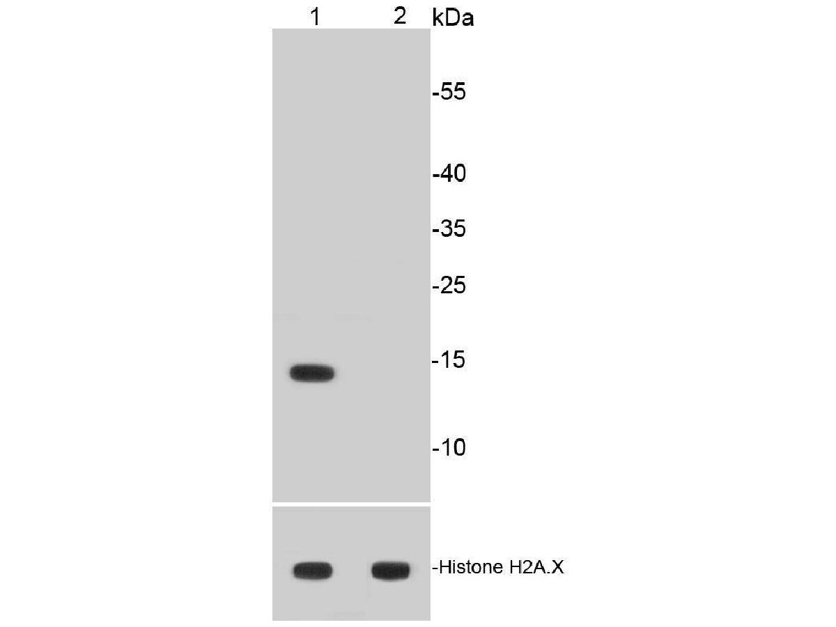 Western blot analysis of Histone H2A(acetyl K9) on different cell lysates using anti-Histone H2A(acetyl K9) antibody at 1/500 dilution.<br /> Positive control: <br /> Lane 1: HeLa treated with 500 ng/ml Trichostatin A for 4 hours whole cell lysates <br /> Lane 2: Untreated HeLa whole cell lysates