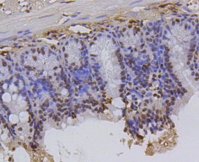 Immunohistochemical analysis of paraffin-embedded mouse colon tissue using anti-Histone H2A(hydroxyl Y39) antibody. Counter stained with hematoxylin.