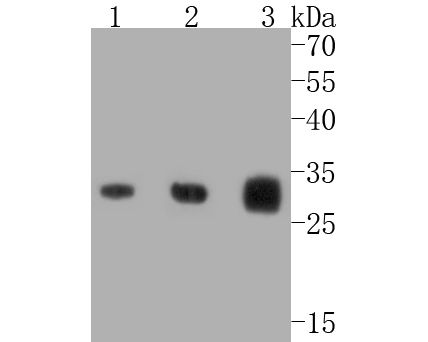 Western blot analysis of Caspase-3 on normal (Hela Control) and Caspase 3 knockout. Hela lysates. Proteins were transferred to a PVDF membrane and blocked with 5% BSA in PBS for 1 hour at room temperature. The primary antibody (ET1602-39, 1/500) was used in 5% BSA at room temperature for 2 hours. Goat Anti-Rabbit IgG - HRP Secondary Antibody (HA1001) at 1:5,000 dilution was used for 1 hour at room temperature.