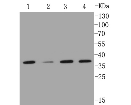 Western blot analysis of MMP12 on different lysates. Proteins were transferred to a PVDF membrane and blocked with 5% BSA in PBS for 1 hour at room temperature. The primary antibody (ET1602-42, 1/500) was used in 5% BSA at room temperature for 2 hours. Goat Anti-Rabbit IgG - HRP Secondary Antibody (HA1001) at 1:5,000 dilution was used for 1 hour at room temperature. Positive control:  Lane 1: A549 cell lysate Lane 2: Hela cell lysate Lane 3: MCF-7  cell lysate Lane 4: THP-1 cell lysate