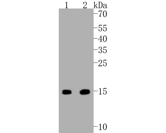 Western blot analysis of Survivin on different lysates. Proteins were transferred to a PVDF membrane and blocked with 5% BSA in PBS for 1 hour at room temperature. The primary antibody (ET1602-43, 1/500) was used in 5% BSA at room temperature for 2 hours. Goat Anti-Rabbit IgG - HRP Secondary Antibody (HA1001) at 1:5,000 dilution was used for 1 hour at room temperature. Positive control:  Lane 1: L929 cell lysate Lane 2: F9 cell lysate