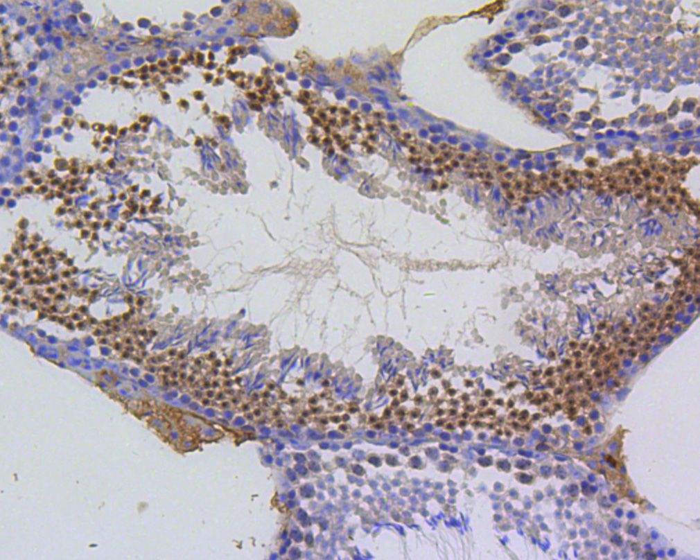 Immunohistochemical analysis of paraffin-embedded mouse testis tissue using anti-Survivin antibody. The section was pre-treated using heat mediated antigen retrieval with Tris-EDTA buffer (pH 8.0-8.4) for 20 minutes.The tissues were blocked in 5% BSA for 30 minutes at room temperature, washed with ddH2O and PBS, and then probed with the primary antibody (ET1602-43, 1/50) for 30 minutes at room temperature. The detection was performed using an HRP conjugated compact polymer system. DAB was used as the chromogen. Tissues were counterstained with hematoxylin and mounted with DPX.