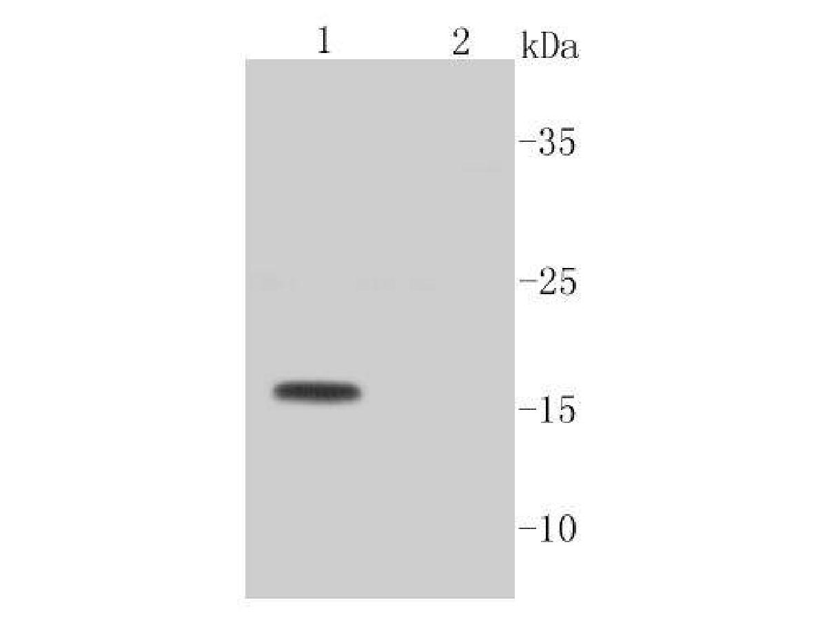 Western blot analysis of Active Caspase-3 on different lysates. Proteins were transferred to a PVDF membrane and blocked with 5% BSA in PBS for 1 hour at room temperature. The primary antibody (ET1602-47, 1/1,000) was used in 5% BSA at room temperature for 2 hours. Goat Anti-Rabbit IgG - HRP Secondary Antibody (HA1001) at 1:5,000 dilution was used for 1 hour at room temperature.<br />  Positive control: <br />  Lane 1: Camptothecin (2 μM) treated Jurkat cell lysate<br />  Lane 2: Untreated Jurkat cell lysate
