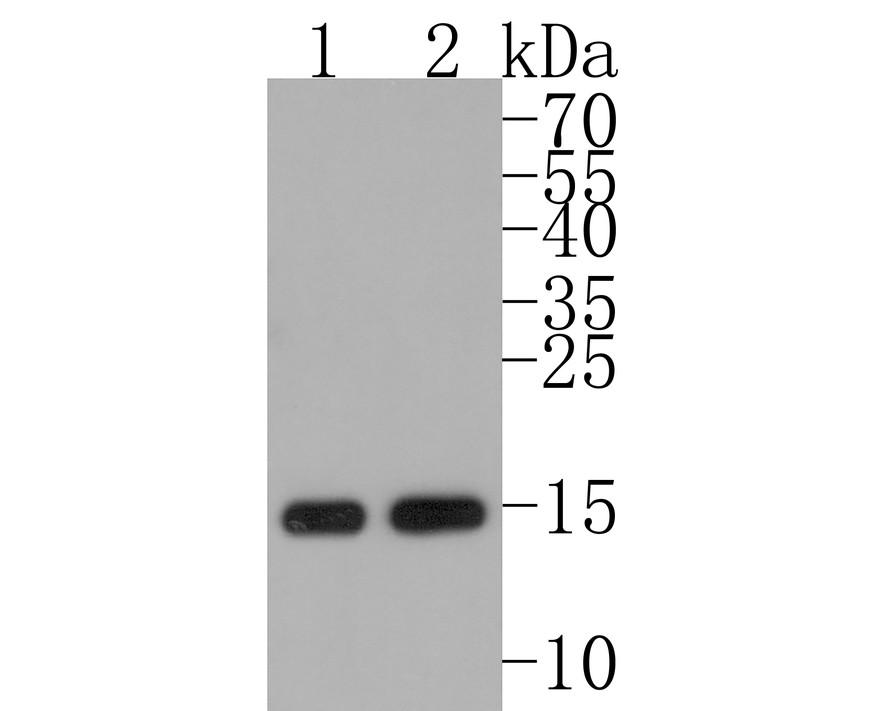 Western blot analysis of Histone H3(mono methyl K36) on different lysates using anti-Histone H3(mono methyl K36) antibody at 1/1,000 dilution.<br /> Positive control:   <br /> Lane 1: Hela           <br /> Lane 2: NIH/3T3