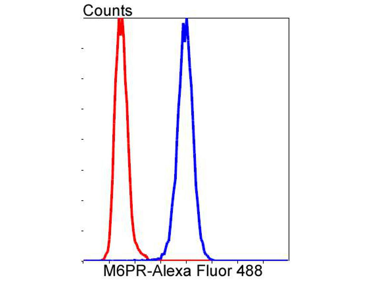 Flow cytometric analysis of M6PR was done on Hela cells. The cells were fixed, permeabilized and stained with the primary antibody (ET1602-5, 1/50) (blue). After incubation of the primary antibody at room temperature for an hour, the cells were stained with a Alexa Fluor 488-conjugated Goat anti-Rabbit IgG Secondary antibody at 1/1000 dilution for 30 minutes.Unlabelled sample was used as a control (cells without incubation with primary antibody; red).