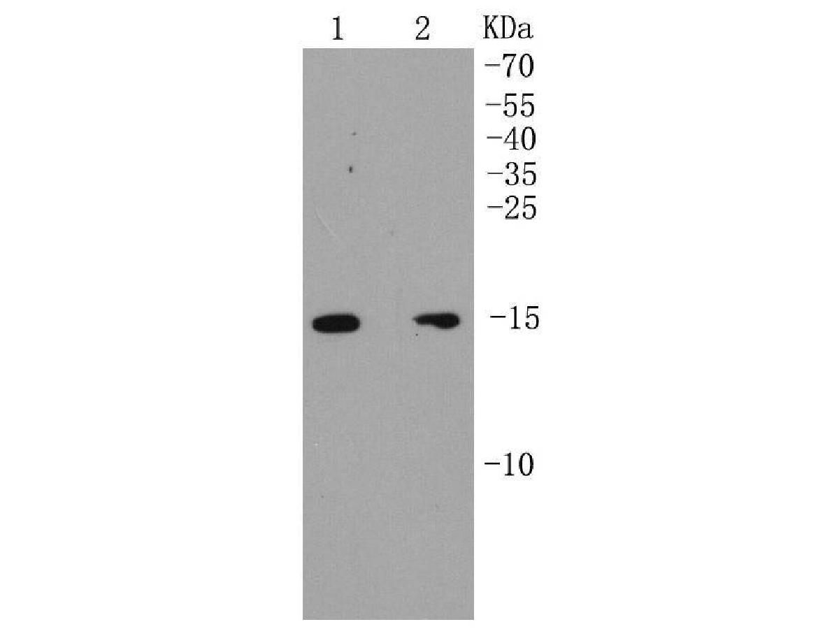 Western blot analysis of p16 ARC on different cell lysates using anti-p16 ARC antibody at 1/1,000 dilution.<br /> Positive control: <br />   Lane 1: MCF-7 <br />   Lane 2: SK-BR-3