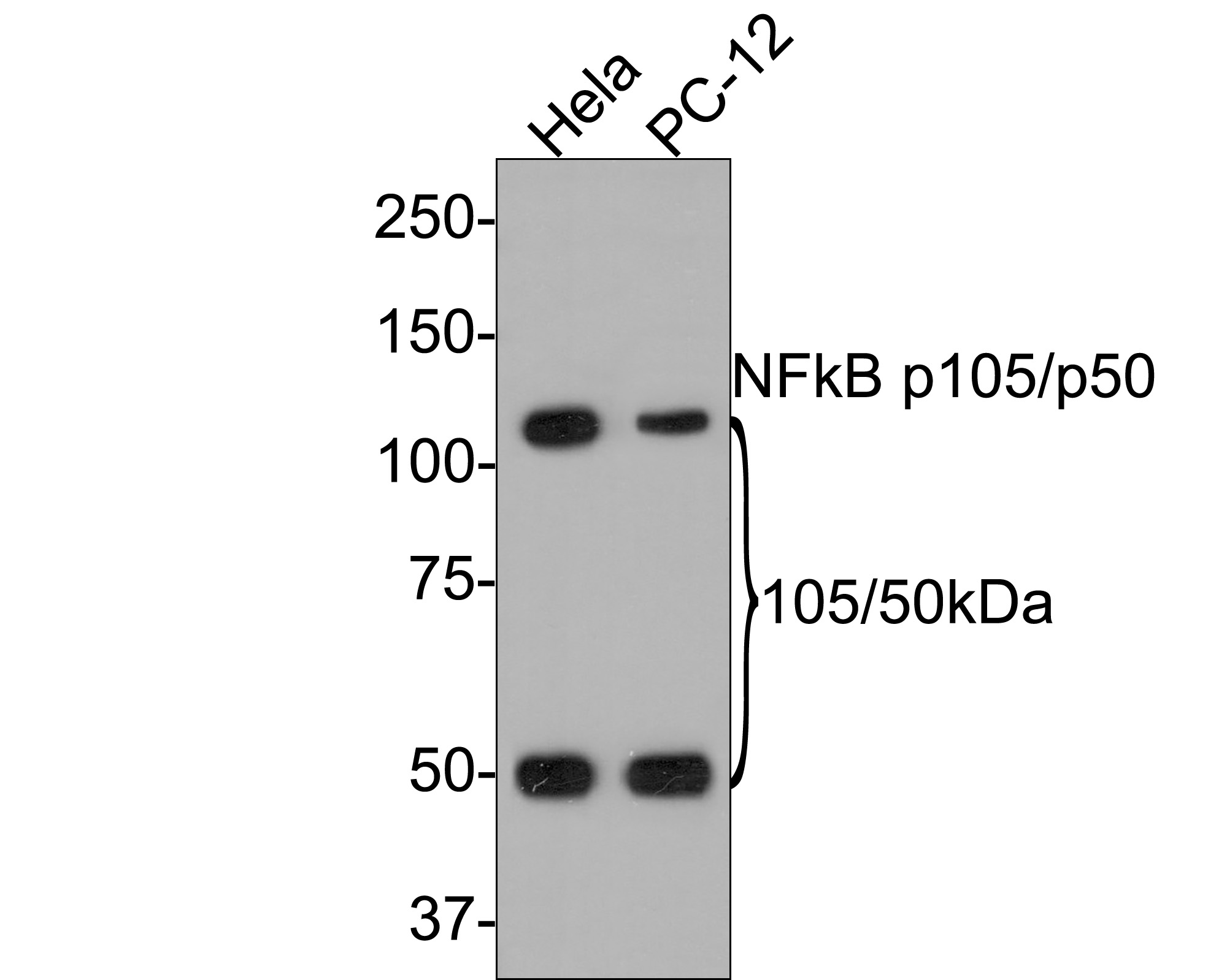 Western blot analysis of NFkB p105/p50 on different lysates. Proteins were transferred to a PVDF membrane and blocked with 5% BSA in PBS for 1 hour at room temperature. The primary antibody (ET1603-18, 1/500) was used in 5% BSA at room temperature for 2 hours. Goat Anti-Rabbit IgG - HRP Secondary Antibody (HA1001) at 1:5,000 dilution was used for 1 hour at room temperature.<br />  Positive control: <br />  Lane 1: Hela cell lysate<br />  Lane 2: PC-12 cell lysate