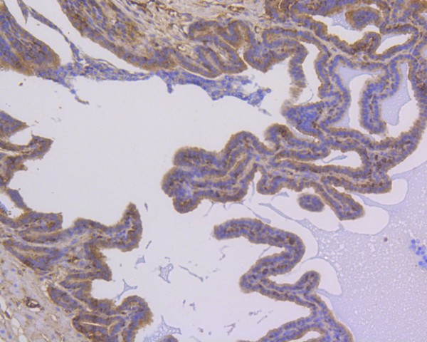 Immunohistochemical analysis of paraffin-embedded mouse prostate tissue using anti-NFkB p105/p50 antibody. The section was pre-treated using heat mediated antigen retrieval with Tris-EDTA buffer (pH 8.0-8.4) for 20 minutes.The tissues were blocked in 5% BSA for 30 minutes at room temperature, washed with ddH2O and PBS, and then probed with the primary antibody (ET1603-18, 1/50) for 30 minutes at room temperature. The detection was performed using an HRP conjugated compact polymer system. DAB was used as the chromogen. Tissues were counterstained with hematoxylin and mounted with DPX.