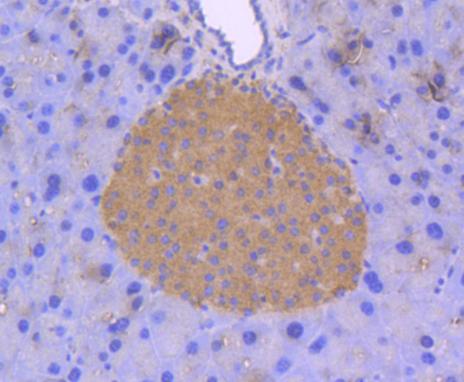 Immunohistochemical analysis of paraffin-embedded mouse pancreas tissue using anti-ERK2 antibody. The section was pre-treated using heat mediated antigen retrieval with Tris-EDTA buffer (pH 8.0-8.4) for 20 minutes.The tissues were blocked in 5% BSA for 30 minutes at room temperature, washed with ddH2O and PBS, and then probed with the primary antibody (ET1603-23, 1/50) for 30 minutes at room temperature. The detection was performed using an HRP conjugated compact polymer system. DAB was used as the chromogen. Tissues were counterstained with hematoxylin and mounted with DPX.