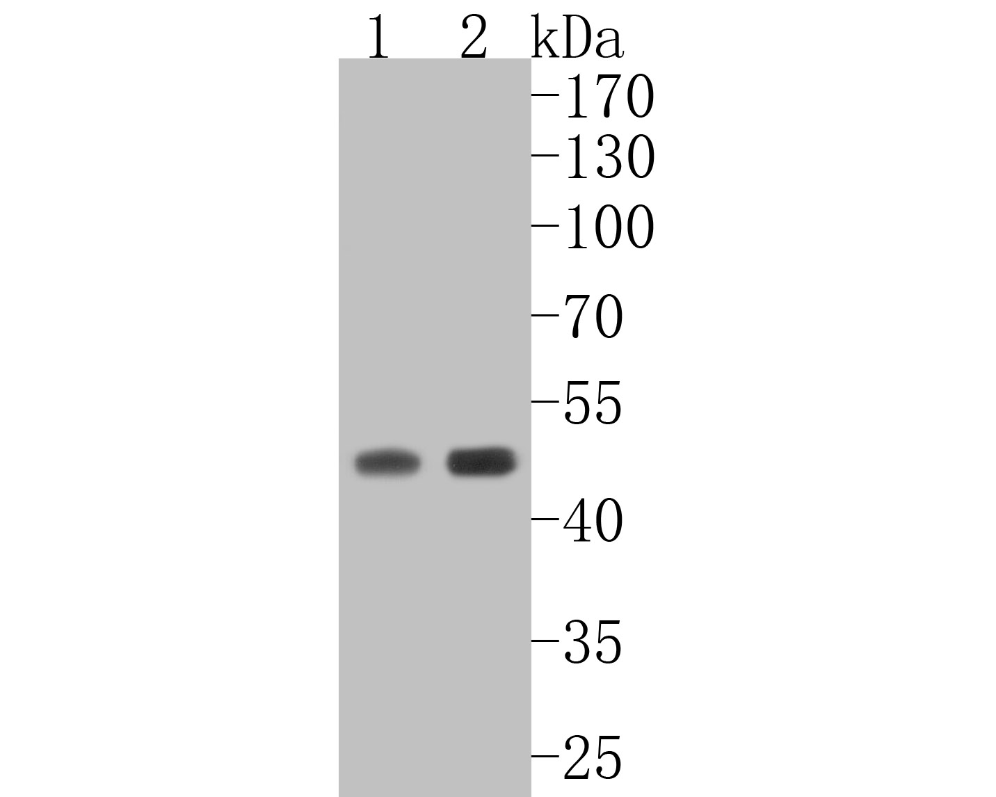 Western blot analysis of Caspase-9 on different lysates. Proteins were transferred to a PVDF membrane and blocked with 5% BSA in PBS for 1 hour at room temperature. The primary antibody (ET1603-27, 1/500) was used in 5% BSA at room temperature for 2 hours. Goat Anti-Rabbit IgG - HRP Secondary Antibody (HA1001) at 1:5,000 dilution was used for 1 hour at room temperature.<br /> Positive control: <br /> Lane 1: C2C12 cell lysate<br /> Lane 2: Hela cell lysate