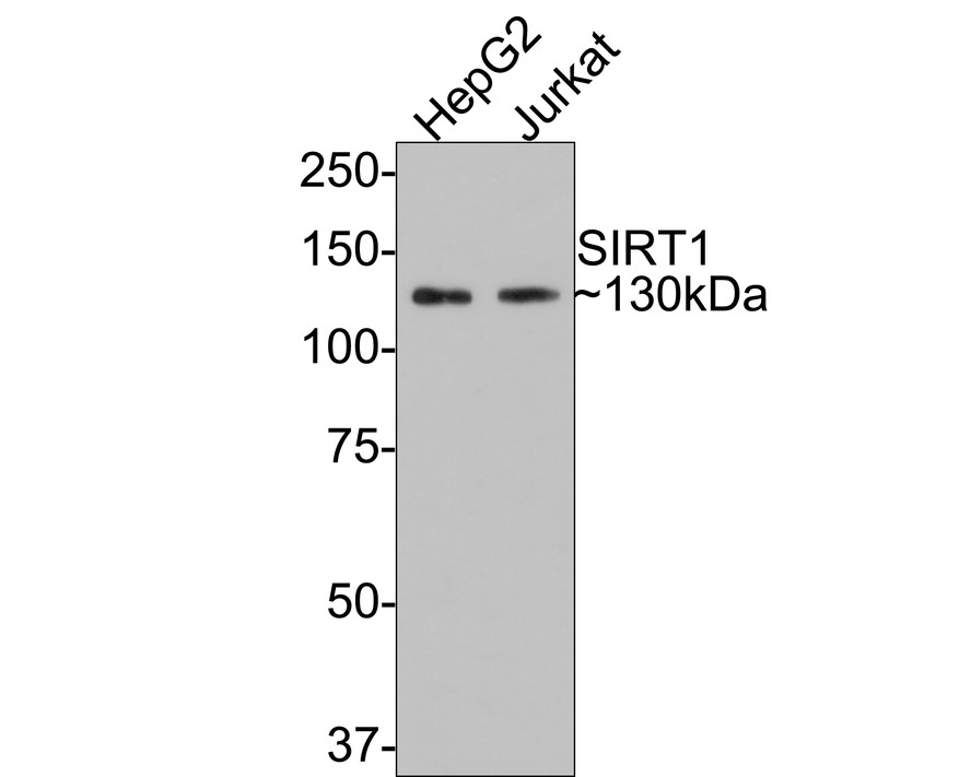 Western blot analysis of SIRT1 on different lysates. Proteins were transferred to a PVDF membrane and blocked with 5% BSA in PBS for 1 hour at room temperature. The primary antibody (ET1603-3, 1/500) was used in 5% BSA at room temperature for 2 hours. Goat Anti-Rabbit IgG - HRP Secondary Antibody (HA1001) at 1:5,000 dilution was used for 1 hour at room temperature.<br /> Positive control: <br /> Lane 1: HepG2 cell lysate<br /> Lane 2: Jurkat cell lysate