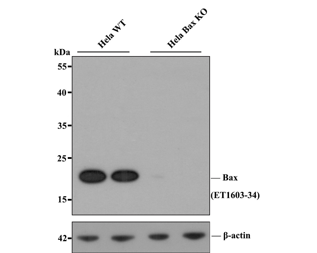 Western blot analysis of Bax on different lysates. Proteins were transferred to a PVDF membrane and blocked with 5% BSA in PBS for 1 hour at room temperature. The primary antibody (ET1603-34, 1/500) was used in 5% BSA at room temperature for 2 hours. Goat Anti-Rabbit IgG - HRP Secondary Antibody (HA1001) at 1:5,000 dilution was used for 1 hour at room temperature.<br /> Positive control: <br /> Lane 1: Hela cell lysate<br /> Lane 2: MCF-7 cell lysate<br /> Lane 3: human liver tissue lysate<br /> Lane 4: PC-12 cell lysate