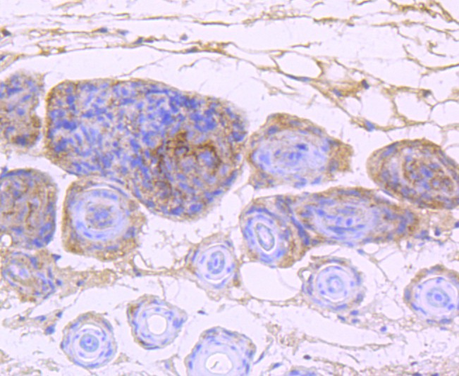 Immunohistochemical analysis of paraffin-embedded mouse skin tissue using anti-EGFR antibody. Counter stained with hematoxylin.