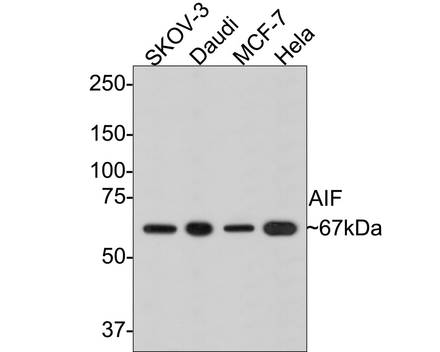 Western blot analysis of AIF on different lysates. Proteins were transferred to a PVDF membrane and blocked with 5% BSA in PBS for 1 hour at room temperature. The primary antibody (ET1603-4, 1/500) was used in 5% BSA at room temperature for 2 hours. Goat Anti-Rabbit IgG - HRP Secondary Antibody (HA1001) at 1:5,000 dilution was used for 1 hour at room temperature.<br /> Positive control: <br /> Lane 1: SKOV-3 cell lysate<br /> Lane 2: Hela cell lysate
