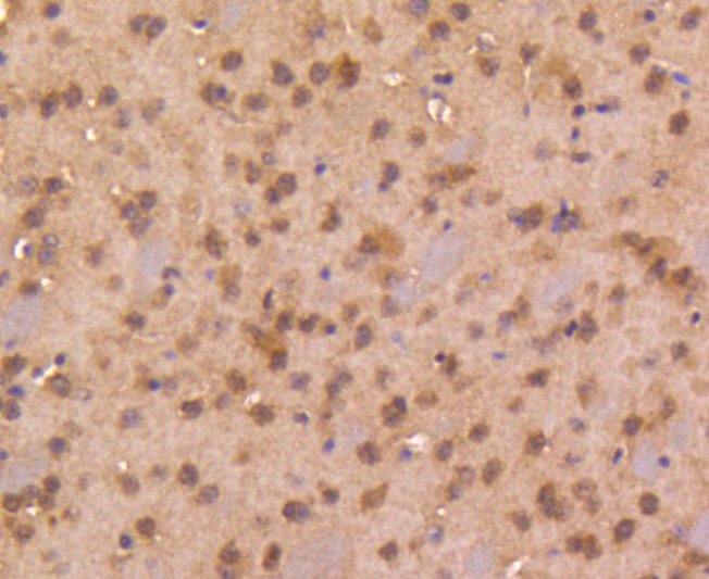 Flow cytometric analysis of Smad4 was done on SH-SY5Y cells. The cells were fixed, permeabilized and stained with the primary antibody (ET1604-12, 1/50) (red). After incubation of the primary antibody at room temperature for an hour, the cells were stained with a Alexa Fluor 488-conjugated Goat anti-Rabbit IgG Secondary antibody at 1/1000 dilution for 30 minutes.Unlabelled sample was used as a control (cells without incubation with primary antibody; black).