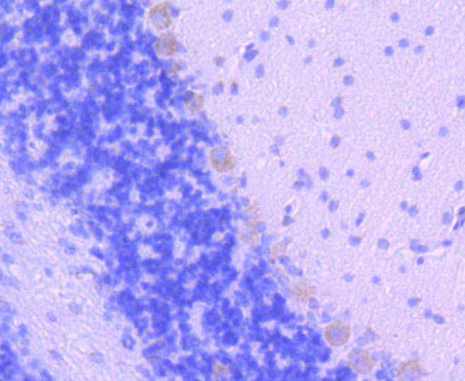 Flow cytometric analysis of Smad2 was done on NIH/3T3 cells. The cells were fixed, permeabilized and stained with the primary antibody (ET1604-22, 1/50) (red). After incubation of the primary antibody at room temperature for an hour, the cells were stained with a Alexa Fluor 488-conjugated Goat anti-Rabbit IgG Secondary antibody at 1/1000 dilution for 30 minutes.Unlabelled sample was used as a control (cells without incubation with primary antibody; black).