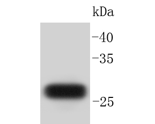 Western blot analysis of GFP on K562 cell lysates<br />   transfected with GFP. Proteins were transferred to a PVDF membrane and blocked with 5% BSA in PBS for 1 hour at room temperature. The primary antibody (ET1604-25, 1/50,000) was used in 5% BSA at room temperature for 2 hours. Goat Anti-Rabbit IgG - HRP Secondary Antibody (HA1001) at 1:5,000 dilution was used for 1 hour at room temperature.
