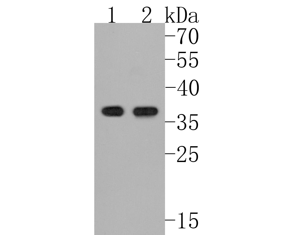 Western blot analysis of Olig2 on different lysates. Proteins were transferred to a PVDF membrane and blocked with 5% BSA in PBS for 1 hour at room temperature. The primary antibody (ET1604-29, 1/500) was used in 5% BSA at room temperature for 2 hours. Goat Anti-Rabbit IgG - HRP Secondary Antibody (HA1001) at 1:5,000 dilution was used for 1 hour at room temperature.<br /> Positive control: <br /> Lane 1: HL-60 cell lysate<br /> Lane 2: THP-1 cell lysate