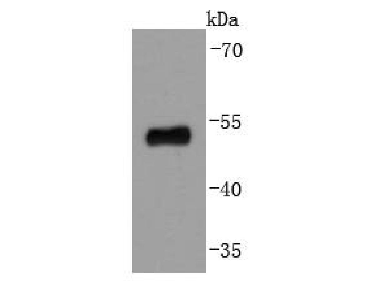 Western blot analysis of p53 on 293 cells lysates using anti-p53 antibody at 1/1,000 dilution.