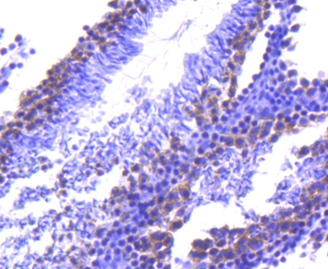 Immunohistochemical analysis of paraffin-embedded mouse testis tissue using anti-TACC3 antibody. Counter stained with hematoxylin.