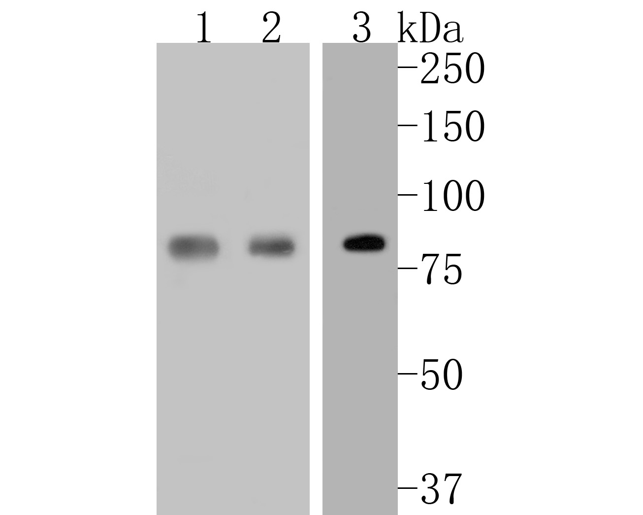 Western blot analysis of STAT3 on different lysates. Proteins were transferred to a PVDF membrane and blocked with 5% BSA in PBS for 1 hour at room temperature. The primary antibody (ET1605-45, 1/500) was used in 5% BSA at room temperature for 2 hours. Goat Anti-Rabbit IgG - HRP Secondary Antibody (HA1001) at 1:5,000 dilution was used for 1 hour at room temperature.<br />  Positive control: <br />  Lane 1: MCF-7 cell lysate<br />  Lane 2: SiHa cell lysate<br />  Lane 3: A549 cell lysate