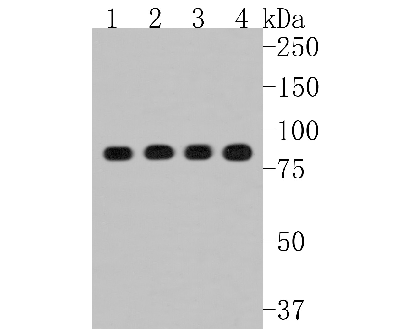 Western blot analysis of Hsp90 beta on different lysates. Proteins were transferred to a PVDF membrane and blocked with 5% BSA in PBS for 1 hour at room temperature. The primary antibody (ET1605-56, 1/500) was used in 5% BSA at room temperature for 2 hours. Goat Anti-Rabbit IgG - HRP Secondary Antibody (HA1001) at 1:5,000 dilution was used for 1 hour at room temperature.<br />  Positive control: <br />  Lane 1: Hela cell lysate<br />  Lane 2: K562 cell lysate<br />  Lane 3: Jurkat cell lysate<br />  Lane 4: 293 cell lysate