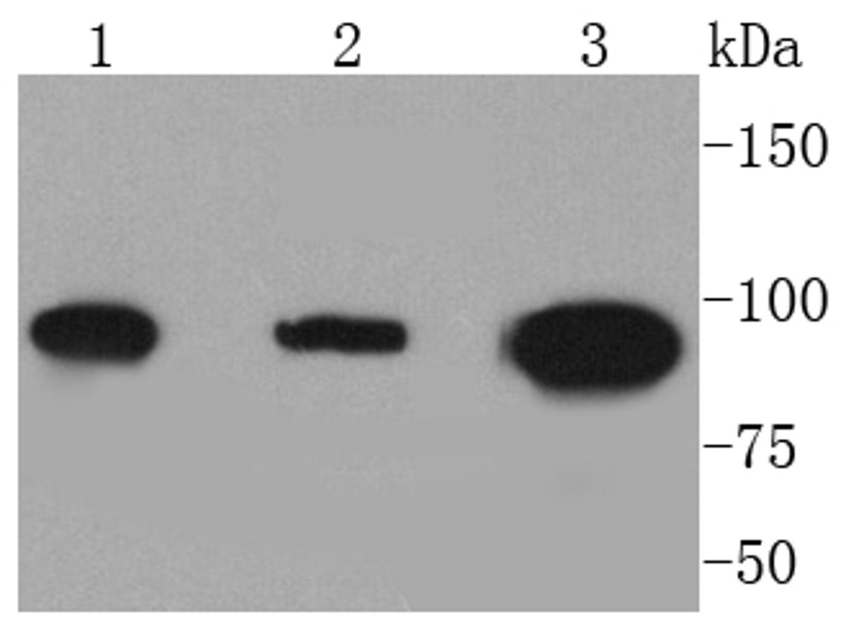 Western blot analysis of Dnmt3b on different lysates. Proteins were transferred to a PVDF membrane and blocked with 5% BSA in PBS for 1 hour at room temperature. The primary antibody (ET1605-9, 1/500) was used in 5% BSA at room temperature for 2 hours. Goat Anti-Rabbit IgG - HRP Secondary Antibody (HA1001) at 1:5,000 dilution was used for 1 hour at room temperature.<br /> Positive control: <br /> Lane 1: A549 cell lysate<br /> Lane 2: Hela cell lysate<br /> Lane 3: A431 cell lysate