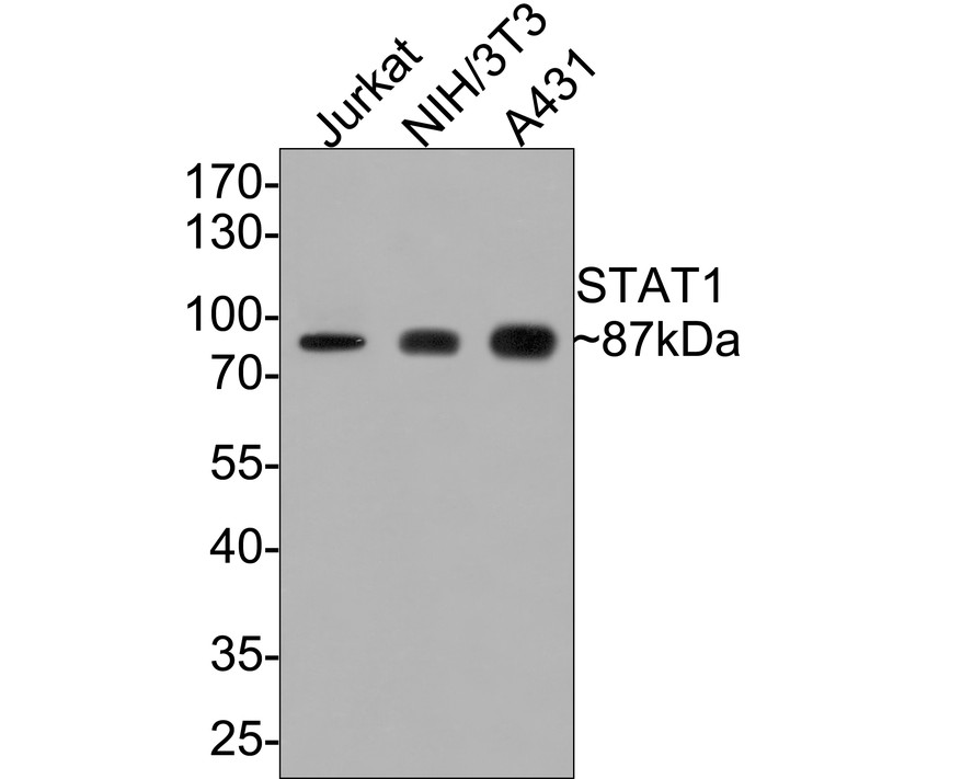 Western blot analysis of STAT1 on different lysates. Proteins were transferred to a PVDF membrane and blocked with 5% BSA in PBS for 1 hour at room temperature. The primary antibody (ET1606-39, 1/500) was used in 5% BSA at room temperature for 2 hours. Goat Anti-Rabbit IgG - HRP Secondary Antibody (HA1001) at 1:5,000 dilution was used for 1 hour at room temperature.<br /> Positive control: <br /> Lane 1: 293 cell lysate<br /> Lane 2: NIH/3T3 cell lysate<br /> Lane 3: A431 cell lysate<br /> Lane 4: MCF-7 cell lysate