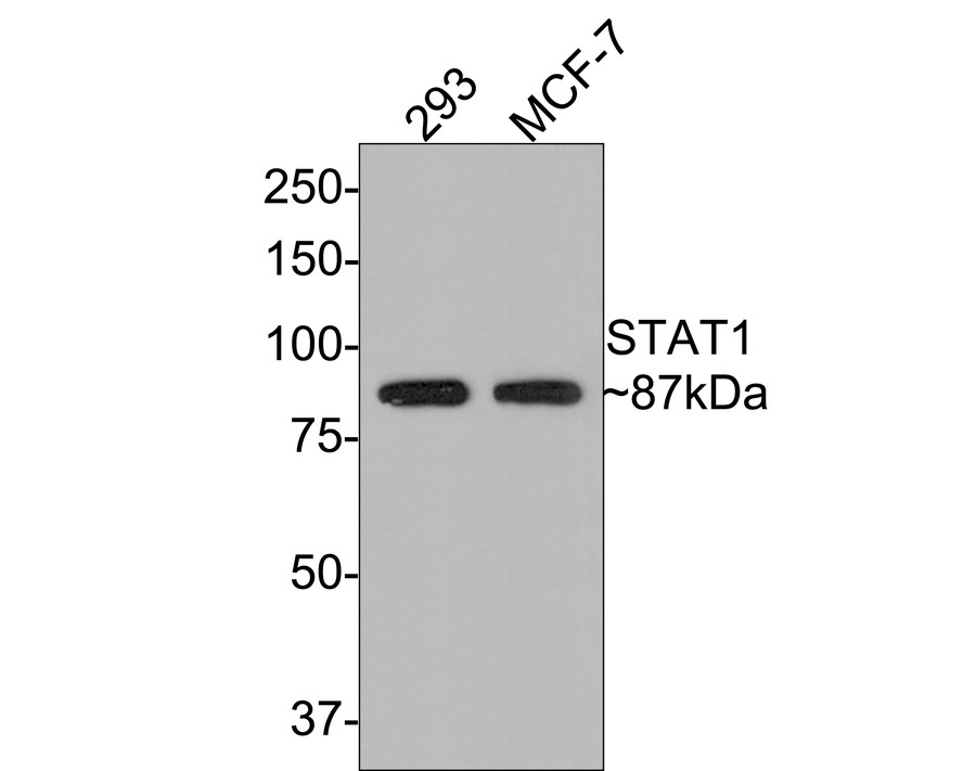 Flow cytometric analysis of STAT1 was done on MCF-7 cells. The cells were fixed, permeabilized and stained with the primary antibody (ET1606-39, 1/50) (red). After incubation of the primary antibody at room temperature for an hour, the cells were stained with a Alexa Fluor 488-conjugated Goat anti-Rabbit IgG Secondary antibody at 1/1000 dilution for 30 minutes.Unlabelled sample was used as a control (cells without incubation with primary antibody; black).